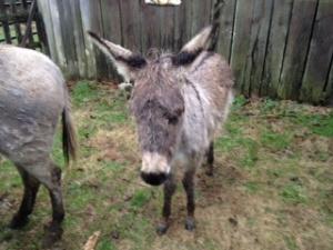 Donkey Roundup a success!